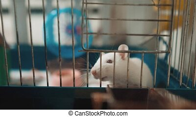 white mouse rat in pet cage. slow motion lifestyle video....