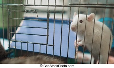 white mouse rat in pet lifestyle cage. slow motion video....