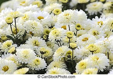 White mum fresh white hardy mum flower and leaves isolated stock white mum in summer mightylinksfo Choice Image