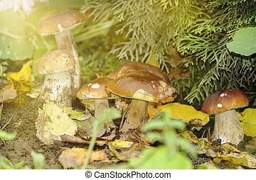 White mushrooms grow in the autumn forest. Noble boletus mushroom