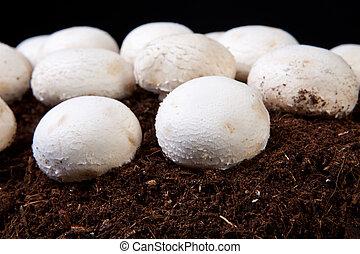 White mushrooms growing