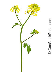 White mustard (Sinapis alba) flower