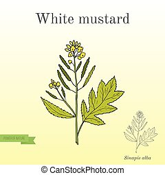 White mustard Sinapis alba . Kitchen hand-drawn herbs and spices.