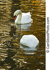 White mute swans in autumn