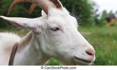 White nanny goat - Close up of white nanny goat in...