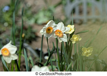 White narcissus blooming in the spring garden on a sunny day
