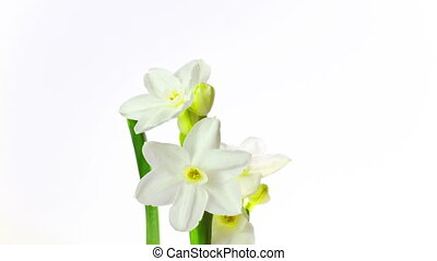 white narcissus blossoms, time-laps