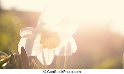 White narcissus close up against the sun. Video full hd.