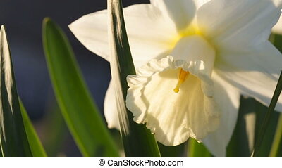 White narcissus close up. Video full hd. - White narcissus...