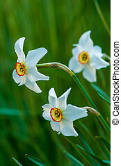 White narcissus daffodil flower on sunshine and blur background