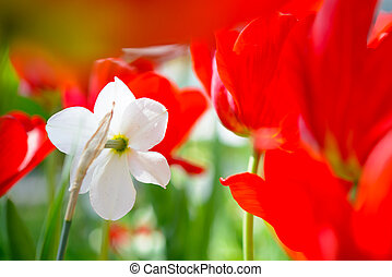 White Narcissus Flower in Field of Bright Red Tulips