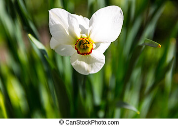 White narcissus flower on flowerbed in garden. Narcissus poeticus