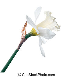 white narcissus isolated on white background