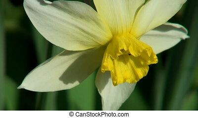 White Narcissus.