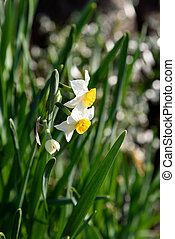 White Narcissus. Shooting in the spring of Japan.