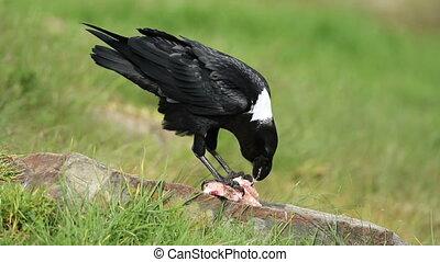 White-necked raven feeding - A white-necked raven (Corvus...
