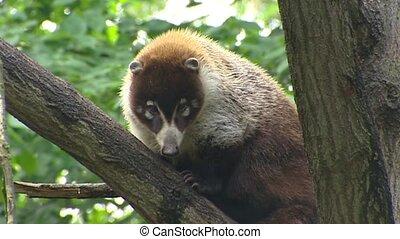 White-nosed Coati in tree - Medium shot. - White-nosed Coati...