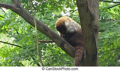 White-nosed Coati in tree - Wide shot - White-nosed Coati in...
