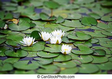 White Nymphaea albas surrounded by leaves
