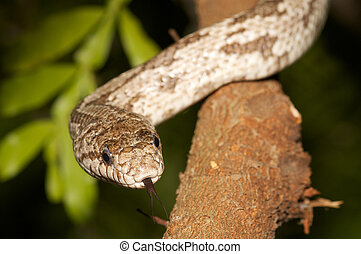 White Oak Rat Snake in a tree, tongue tasting the air.
