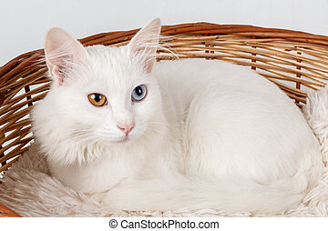White odd eyed cat in a basket - Studio shot of a white cat ...