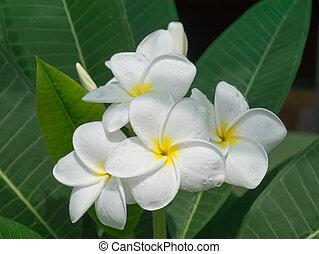 White of frangipani flower
