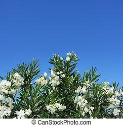White oleander against blue sky
