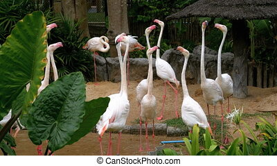 White or Pink Flamingo at the Khao Kheow Open Zoo. Thailand.