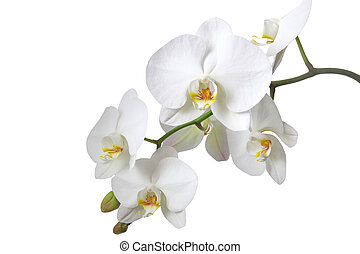 A tender white orchid. All isolated on white background.