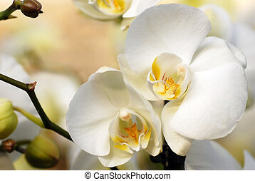 White orchid - beautiful natural white orchid flowers...