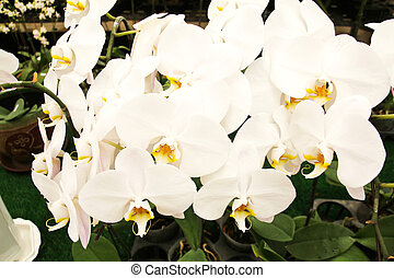 White orchid blooming in the garden.