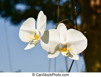 White orchid blossoms
