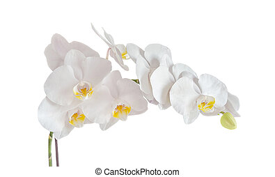 White orchid branch flower, phalaenopsis isolated on white background.