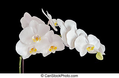 White orchid branch flower, phalaenopsis isolated on black background.