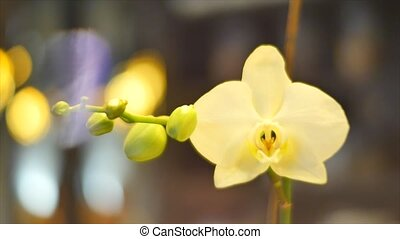 white orchid flower close up