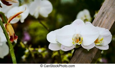 White orchid flower in a garden close-up. The camera moves back on the slider. Color correction.