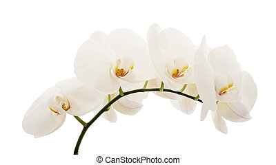 orchid - white orchid flower isolated on white background