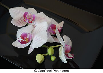 White Orchid Flower On Black Background