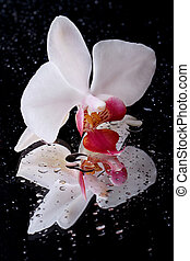 White orchid flower with water droplets on black