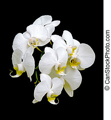 White Orchid in drops of dew