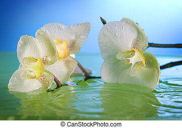 White Orchid In Water