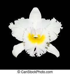 white orchid isolated on black background with clipping path...