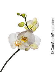 white orchid isolated on white back