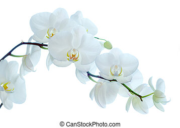 orchid - White orchid isolated on white background