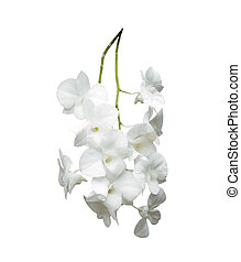 white orchid isolated white background