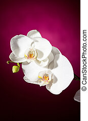 White orchid on pink background