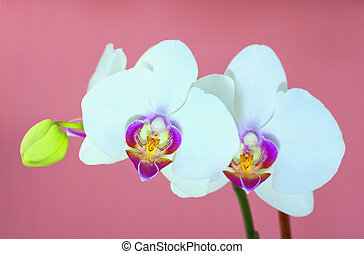 White orchid over pink background