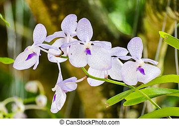 White Orchid, Vanda hybrids in garden