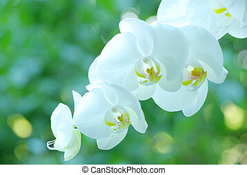 white orchid  - White orchid isolated on green background