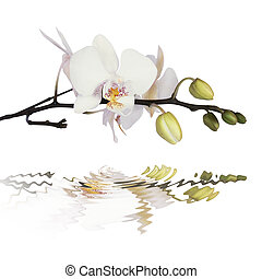 White orchid on calm water